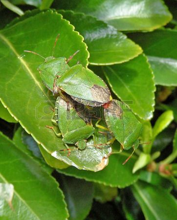 Green Shield Bug Pile Up #greenshield