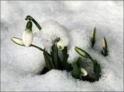 rügyfakadás - hóvirág