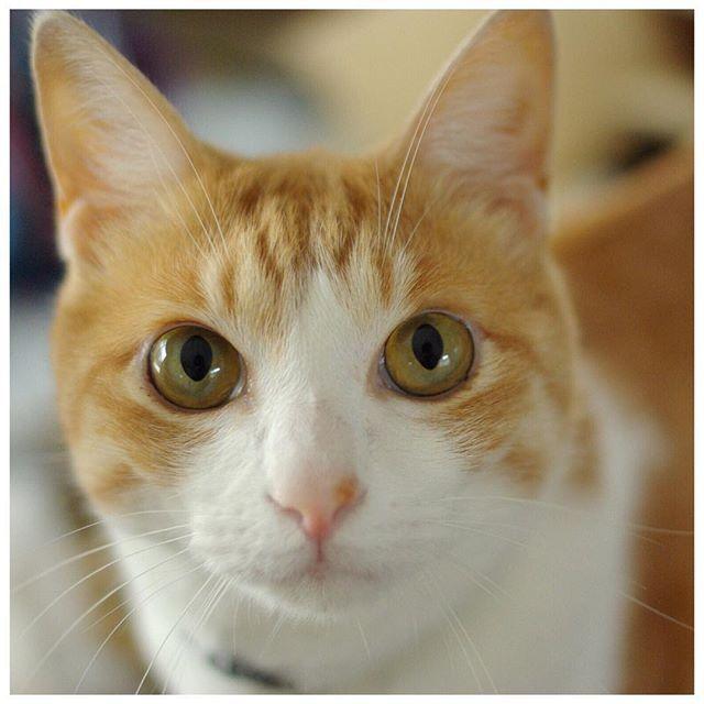 . 写真を撮り、その中から一枚を選び キャプションを考え、投稿する そんなことを、気がつけば 300回繰り返してきたわけです . #猫 #ねこ #愛猫 #茶トラ白 #家猫 #猫のいる暮らし  #ねこ好き #ねこすたぐらむ #にゃんすたぐらむ  #みんねこ #ピクネコ #ペコねこ部  #cat #cats #catstagram #instacat #picneko #mylovelycat #catlovers #mylovingpet #ilovemycat #catsofinstagram