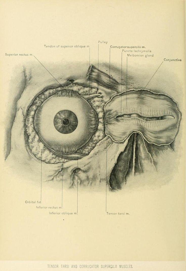 'Tensor Tarsi and Corrugator Supercilii Muscle mass'  From 'Surgical anatomy of the … d601a069c3c24cecf5501441b8337901  head and neck the head