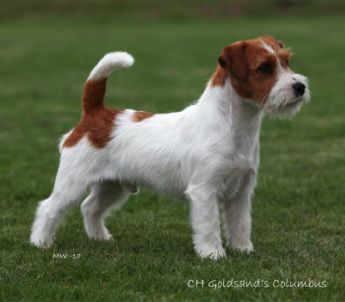 https://www.google.com/search?q=tan and white rough coat jack russell