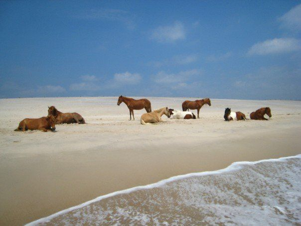Assateague Island, Virginia. This is where my family vacationed every year when I was growing up. ((the kids would LOOOOOVE this!))
