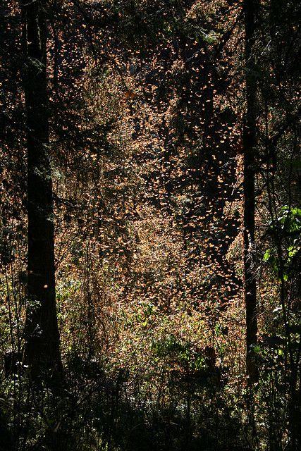 En el Estado de Michoacán, Estado de México, la Reserva de Biósfera de la Mariposa Monarca