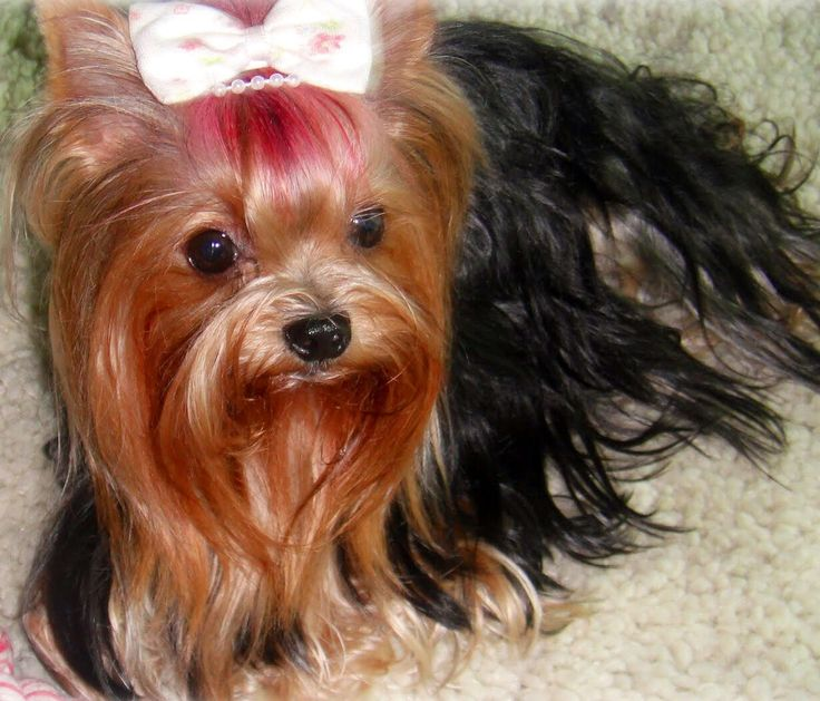 yappy yorkshire terriers