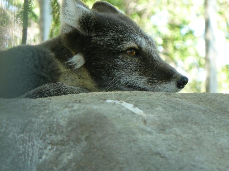 Tundra Arctic Fox In Summer 44 best Arctic ...