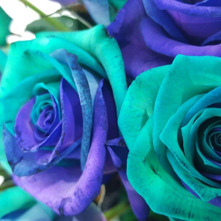 Růže Rainbow Pacific Blue #florea
