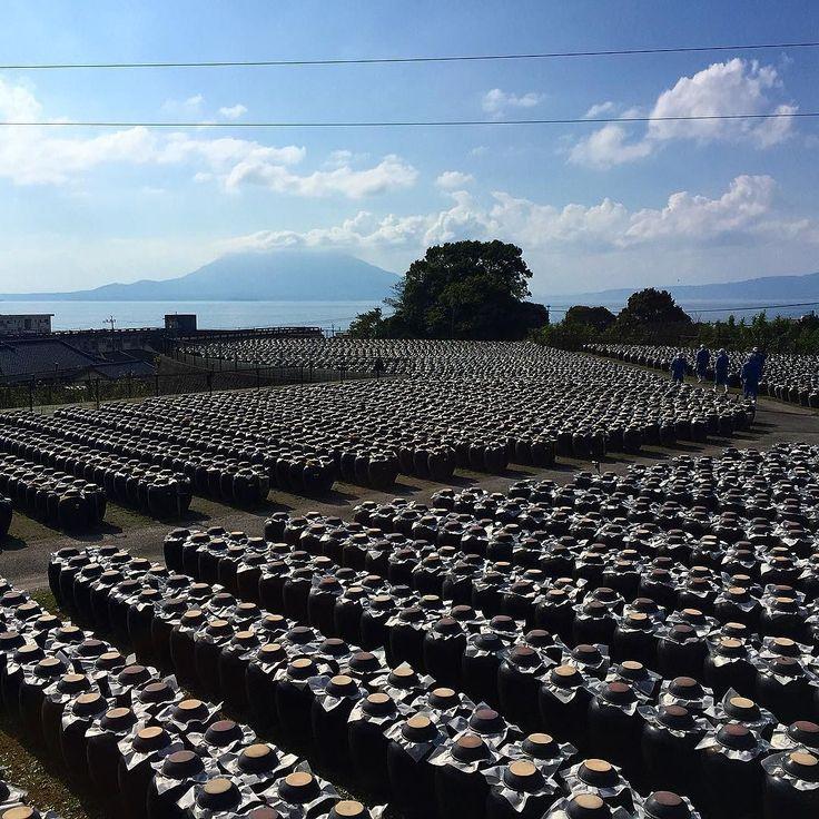 По старинной 300 летней технологии в огромных глиняных горшках на берегу Кагосимского залива годами созревает лучший в стране рисовый уксус. #Кагосима #Кюсю #уксус #новости #залив #наберегу #вулкан #Сакурадзима #Япония #производство #технология #традиции #ферма #поля