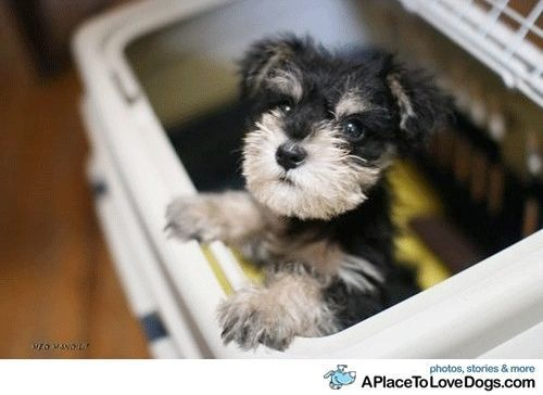 baby schnauzer - That's pretty darn cute!
