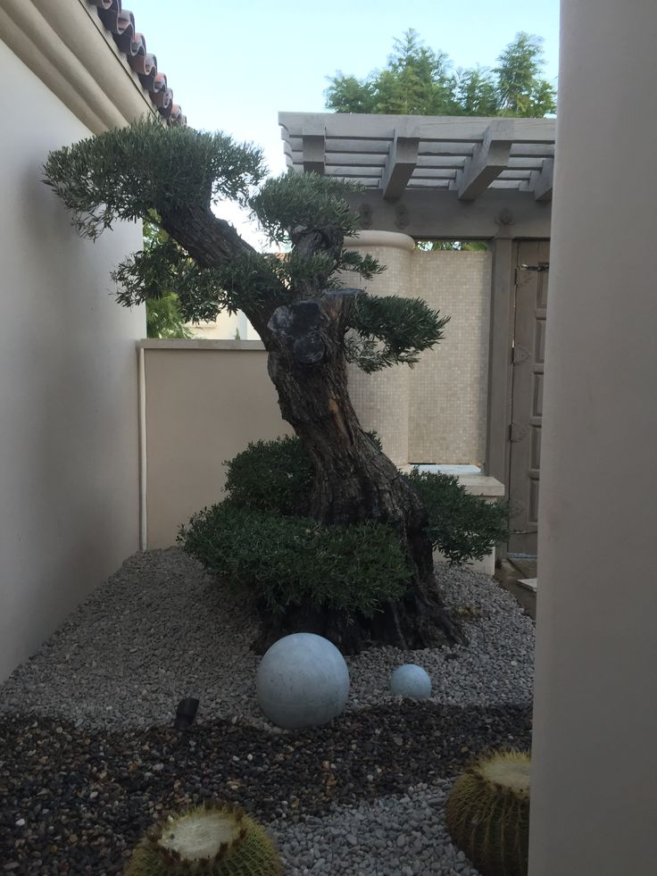 50 best olive a dream trees ancient olive trees 100 year for How to make an olive tree into a bonsai