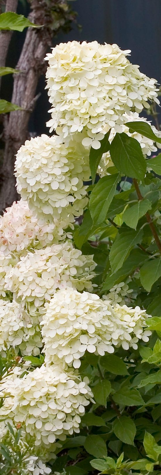 Hydrangeas (probably Hydrangea paniculata 'Limelight')
