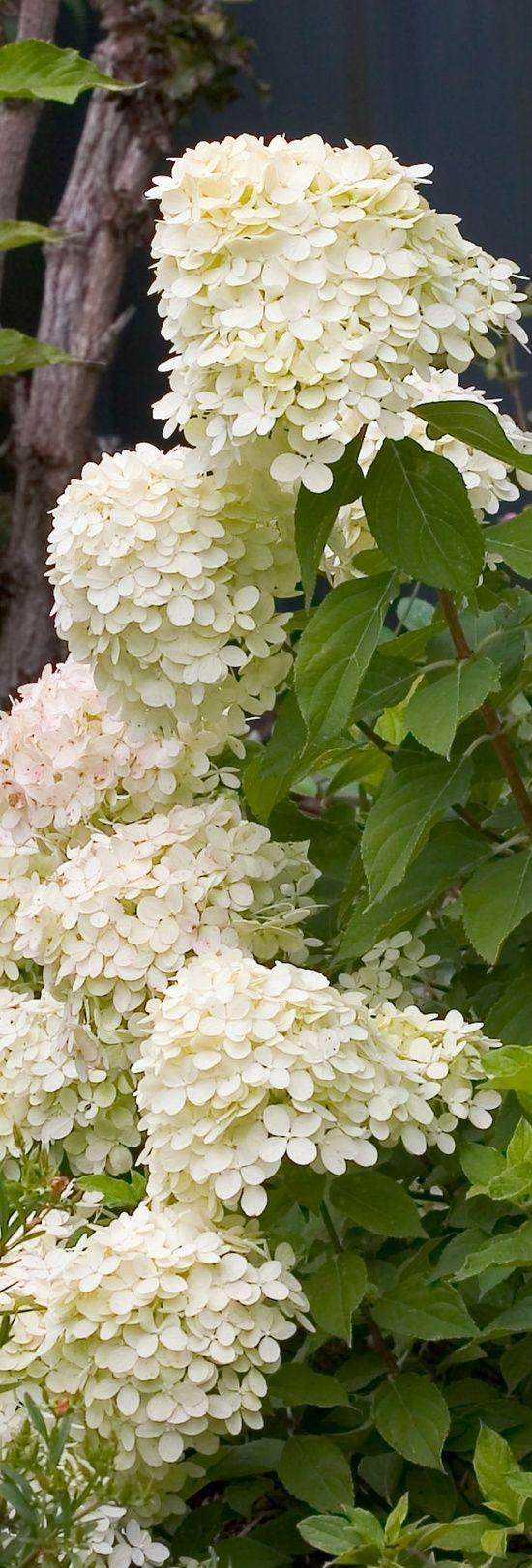 Hydrangeas (probably Hydrangea paniculata 'Limelight')