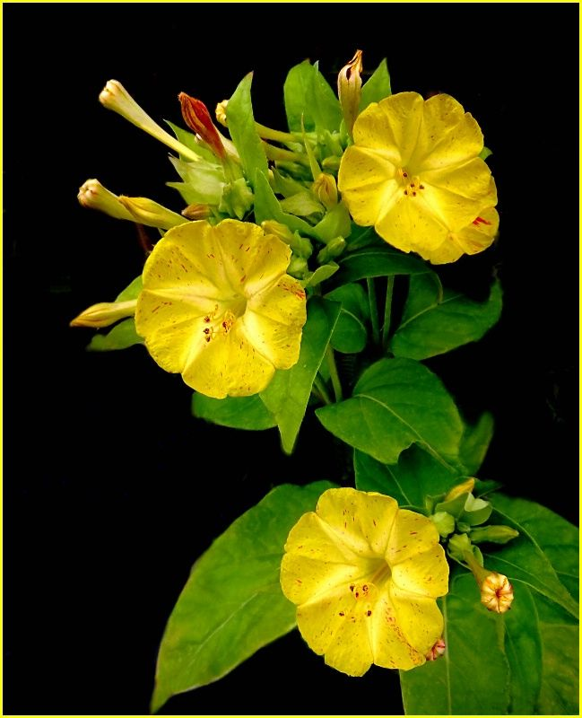 Best Plants Yellow Flowers Images On Pinterest Yellow