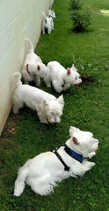 Play day for our Westies in Kansas!