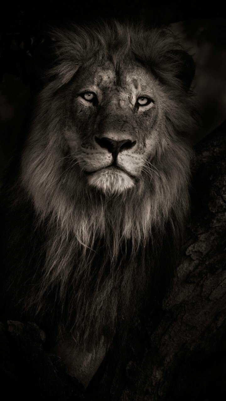 Pin By Hendie Purwiliarto On Phone Backgrounds 04 Lion Wallpaper Iphone Lion Wallpaper Lion Hd Wallpaper