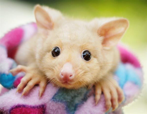 Best Brushtail Possum Images On Pinterest Aussies Extinct And Fox - Adorably optimistic possum sparks hilarious photoshop battle