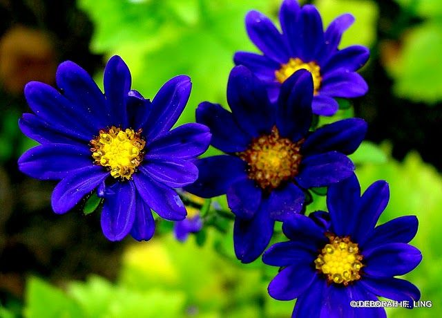 Blue African Daisy Osteoum Flower Picturesflower Meaningshardy