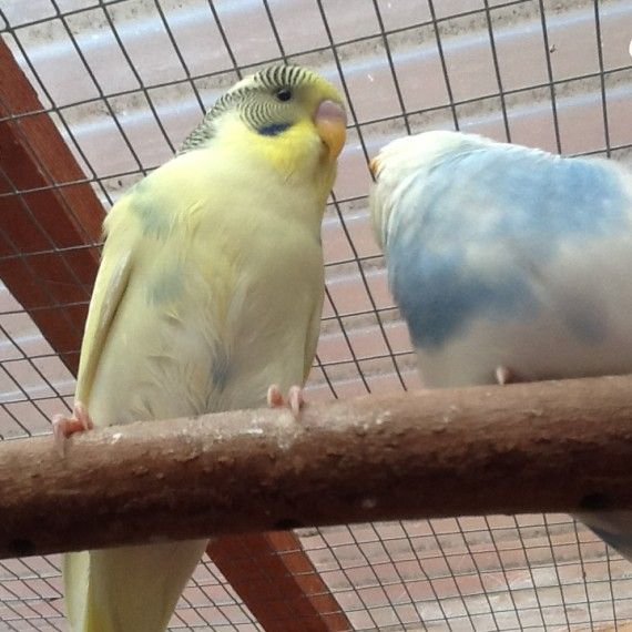 Baby Budgies Happy And Healthy Baby Budgies Budgies Pet Breeds