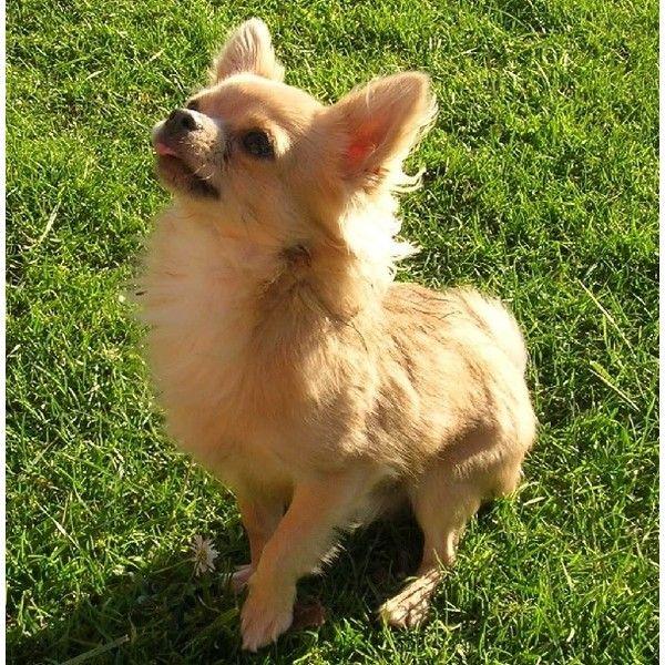 Razze cani: Chihuahua a pelo lungo ❤ liked on Polyvore