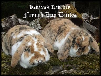 French Lop Color Guide