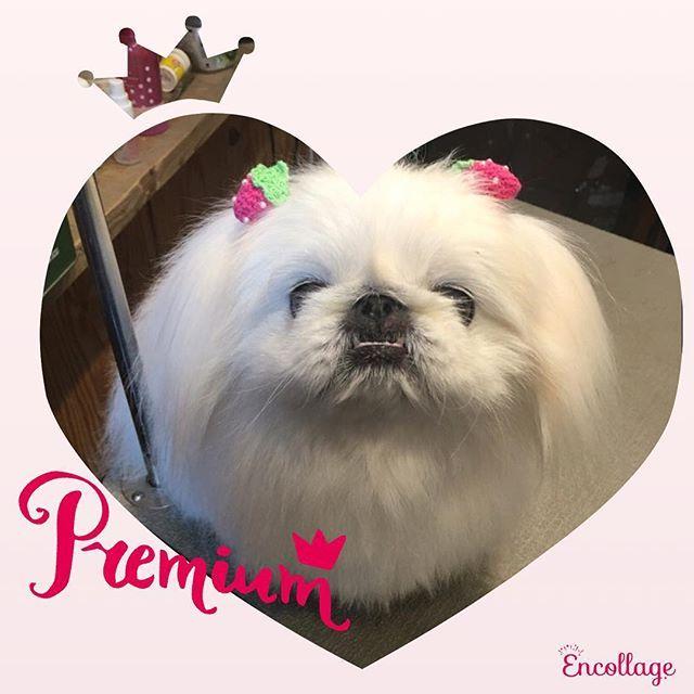 お友達の🐶ちゃんで、ペキニーズのさくら😊  すっかりお婆ちゃんになってきたので、ちょっと頑固になってきましたが、それでも昔から知ってるので可愛くてたまりません😍💕 いつも私を見つけると喜んで寄ってきてくれるさくら😊  まだまだ長生きしてね😉👍 プロフィールからHPへどうぞ!!! #犬 #カット #ドッグ#ドッグサロン#トリミング#可愛い#ペットサロン#ペット#愛犬#犬の美容#ビューティ#ヘアスタイル#トイプー#大阪#松原#ハサミ#セニング#ブレンダー#プードルカット#ダックス#チワワ#泥パック#防臭効果#殺菌作用#乾燥肌#保湿効果#新陳代謝#血行改善#ハーブパック