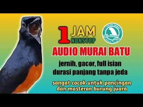 Masteran Dan Pancingan Paling Dicari Audio Murai Batu Full Variasi Isian Jernih 1 Jam Tanpa Jeda Youtube Burung Audio Pancing