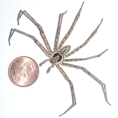 An adult male huntsman spider compared to a penny.<br />