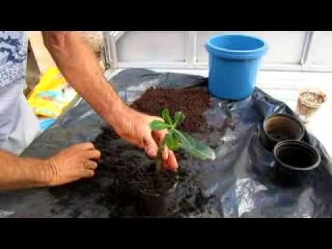 Como fazer mudas de estaca de Rosas do Deserto