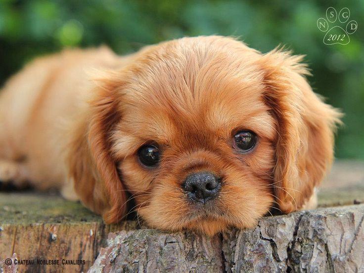 Cool Charles Spaniel Brown Adorable Dog - d6064c0d1984b89f704cd9f07c160ef5--king-charles-spaniels-cavalier-king-charles  You Should Have_184816  .jpg