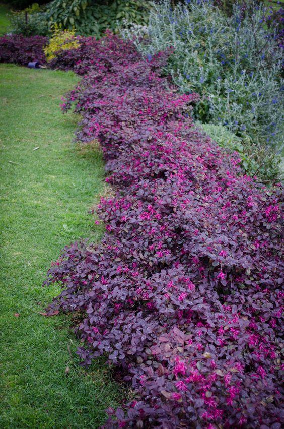Loropetalum 'Plum Gorgeous' • Purple foliage • Pink flowers • Mass planting for a