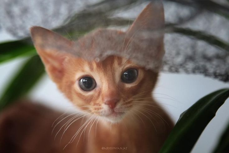 "804 Likes, 12 Comments - Abessinier Katzen Zucht (@abyssinian.at) on Instagram: ""Well... hello  . . . #AmberAmulett #Abyssinian #Abessinier #Cat #Katze #Kitty #Meow #Fluffy…"""
