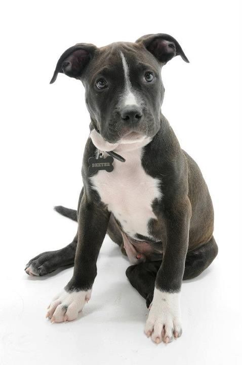 Pictures of American Staffordshire Terrier Dog Breed