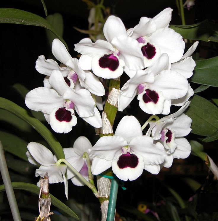 Orchid Dendrobium Burana Green Star | Ảnh Dendrobiums Yamamoto - Dendrobiums nobile hybrid / lai ...