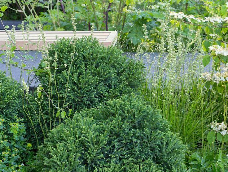Spectacular Die Japanische Zeder uGlobosa Nana u sorgt f r ganzj hrige Akzente im Garten