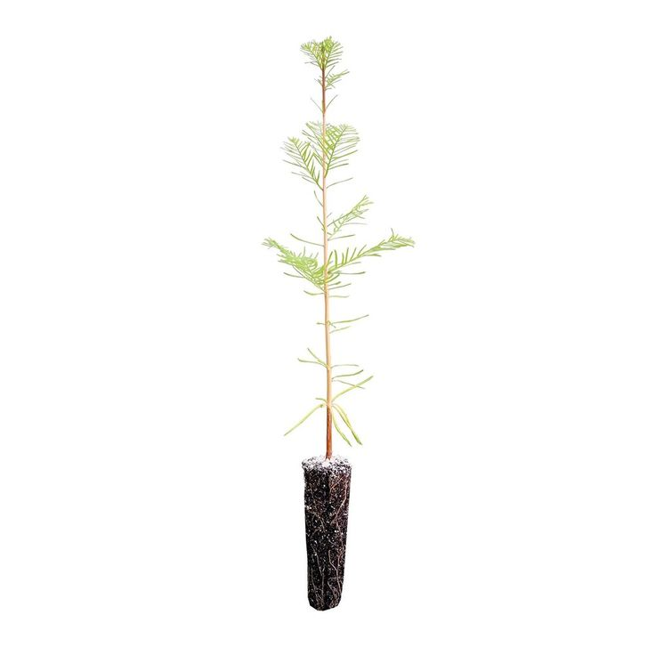Baldcypress Live Tree Seedling Garden Medium Plant Outdoor Yard Best Gift New #BaldcypressLiveTree #Custom