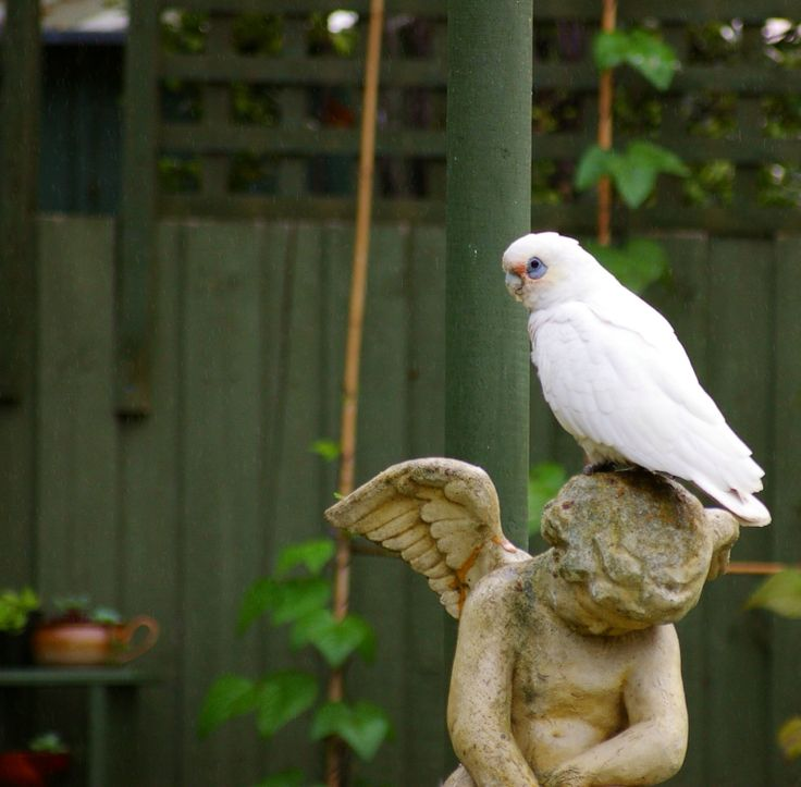 Visitor to my garden. A Corella stops to poop on Cupid