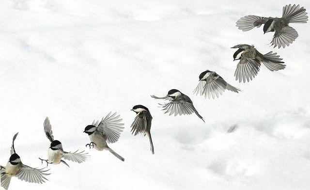flying chickadee - Google Search   Tattoos   Pinterest ... - photo#19