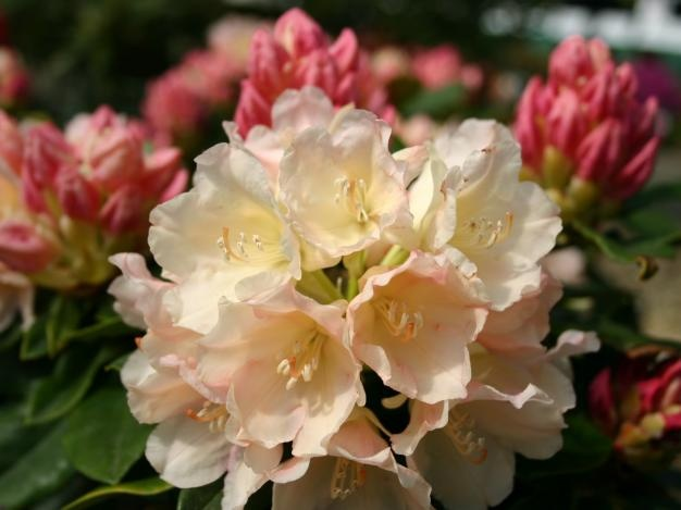 rhododendron golden torch a dense evergreen shrub with. Black Bedroom Furniture Sets. Home Design Ideas