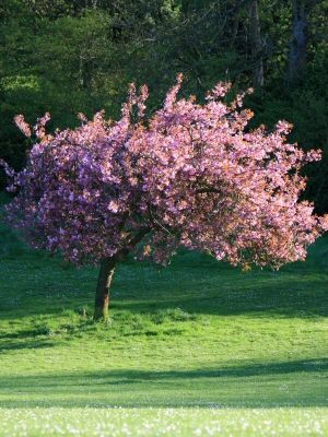 8 Best Memorial Trees Images On Pinterest Plants A Tree