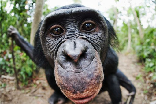 An adult bonobo stares into the camera at Lola Ya Bonobo Sanctuary