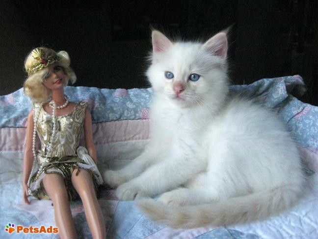 Ragdoll Kittens Ragdoll Kitten Fashion Week Hair Cute Fluffy