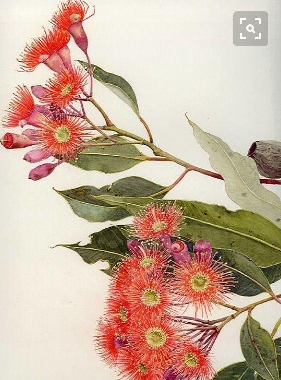 Helen Fitzgerald Corymbia Ficifolia endemic SWestern Australia