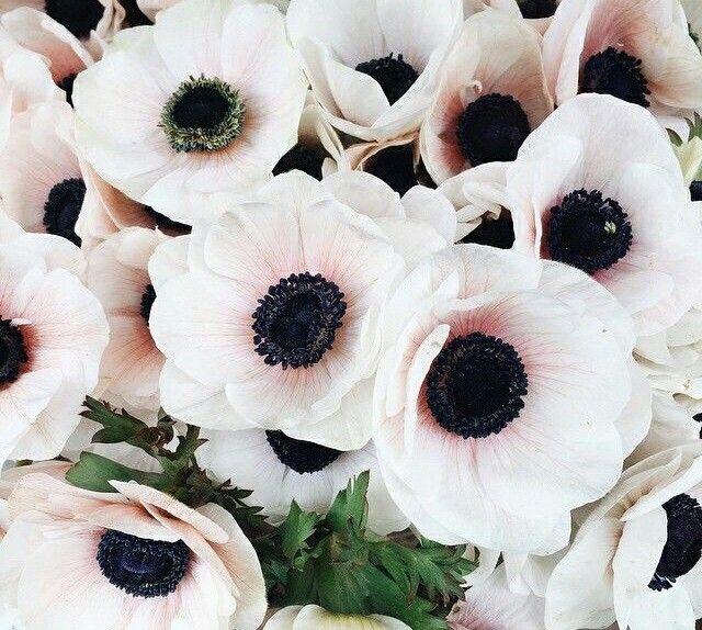 Blush Japanese Anemones