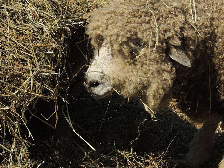 Owce są  znanymi  zwierzakami  hodowlanymi . Owce występują  w egzotycznych   ziemiach. Dzięki nim  da się  pozyskać  liczne    materiały . Do  profitów  z  pasania  owiec  zaliczają się  wyroby   tekstylne i  spożywcze . Owce są  zatem   wielce  potrzebnymi  stworzeniami , zasilając   dziedzinę   włókienniczą i  żywnościową .