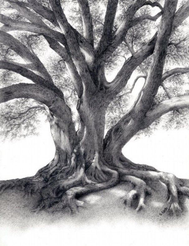 fig tree drawing