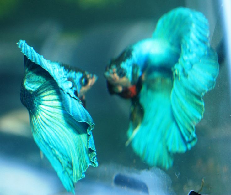 Reflection betta fish behavior pinterest for Betta fish personality