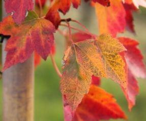 Rode Esdoorn, Acer rubrum 'Red Sunset' kopen vanaf €25,00 | Ten Hoven Boomkwekers Apeldoorn