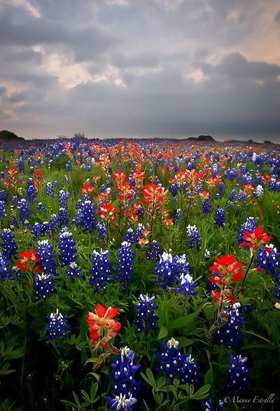 Blue bonnets and Indian Paintbrush Love paintbrushes... Grew up with them in Colorado... Supposedly illegal to pick. Go thing to remember!