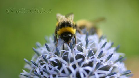 Bee in blue (scheduled via http://www.tailwindapp.com?utm_source=pinterest&utm_medium=twpin&utm_content=post165452737&utm_campaign=scheduler_attribution)