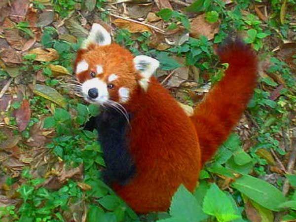 Petit Panda . En Images. Dinosoria
