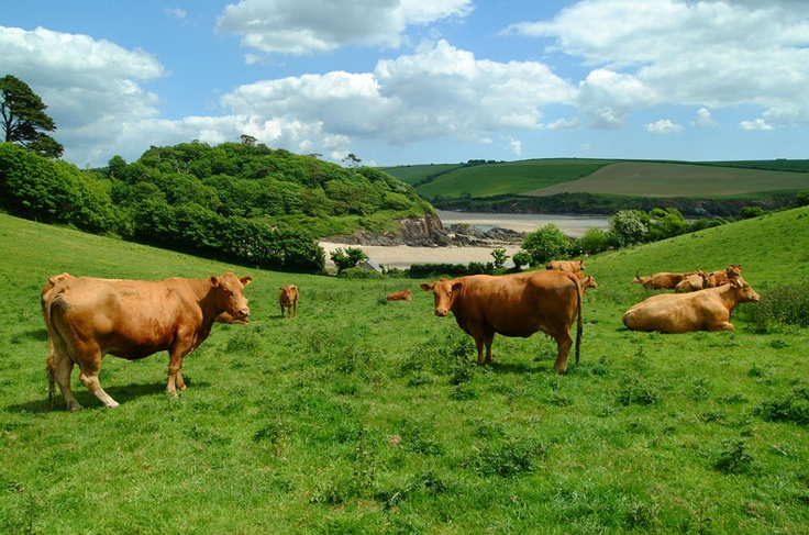 South Devon cattle enjoying the view of Mothecombe Beach